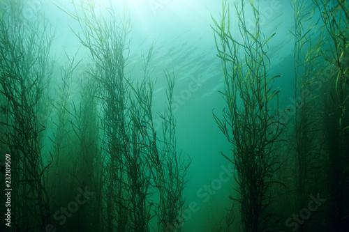 Foto auf Acrylglas Wald im Nebel Water Star-grass underwater in the St. Lawrence river