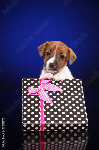 Fotografie, Obraz  Puppy Jack Russell Terrier in gift box