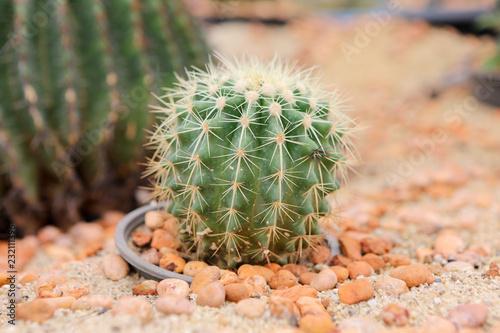 Staande foto Cactus cactus