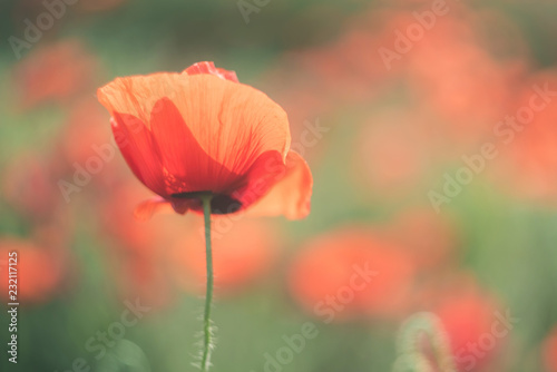 Keuken foto achterwand Klaprozen Spring field with wild poppies baeutiful blurred background