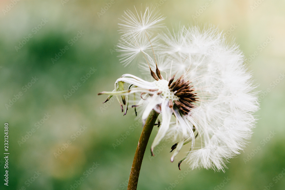 Fototapety, obrazy: Dandelion flower head releasing its seeds close up macro photo with bokeh background out of focus due to shallow depth of field.