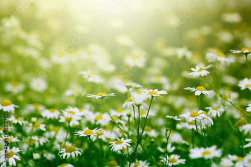 little daisy in the garden
