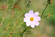Beautiful Pink Cosmos Bipinnatus Flower With Yellow Center On Blurred Green Background