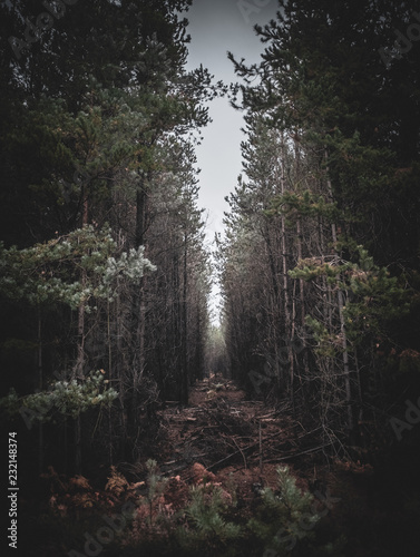 Wall Murals Forest Spooky woodland path deep in a pine forest, narrow clearing