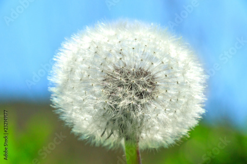 Dandelion with blue sky