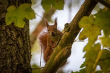 Neugieriges Eichhörnchen Blic...
