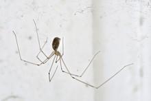 Eine Langbeinige Spinne, Genannt Zitterspinne In Einer Zimmerecke Im Spinnennetz