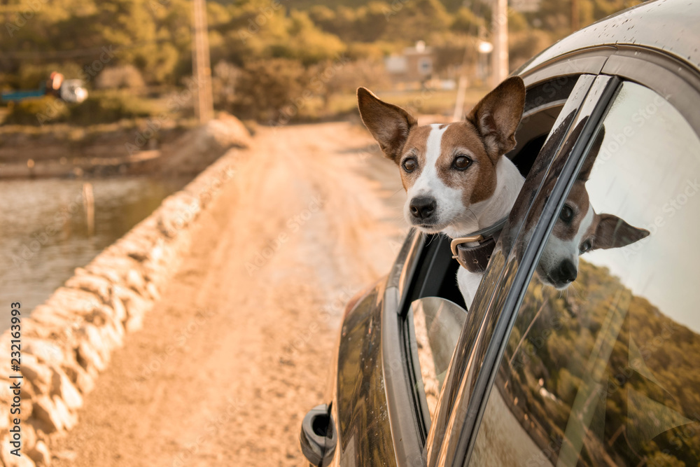 Fototapety, obrazy: Jack Russell dog sticking his head out the beack window of the car