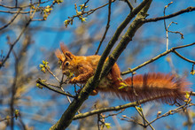 Eurasian Red Squirrel - (Sciurus Vulgaris) Cute Arboreal, Long-tailed Rodent, Climbing In The Tree. Adorable Curious Mammal. Portrait Of Eurasian Squirrel In Natural Environment. Concept: Animals