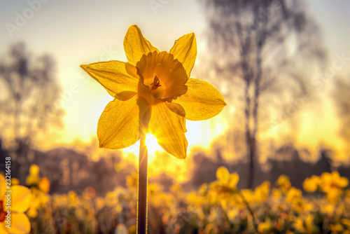 Fotobehang Narcis The narcissus (Narcissus) form a plant genus in the subfamily of Amaryllidoideae within the family Amaryllis (Amaryllidaceae). Concept: flowers and plants or springtime
