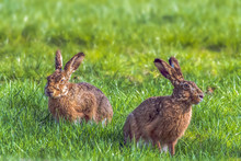 The Rabbits (Leporidae) Are A Mammal Family From The Order Of The Rabbit-like (Lagomorpha). Here Two Hares On A Green Meadow. Concept: Animals