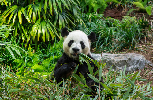Valokuva  Giant Panda Bear Eating Bamboo