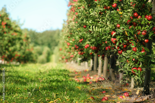 Foto Beautiful view of apple orchard on sunny autumn day