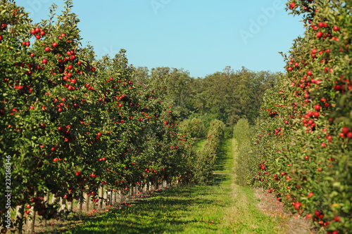 Fotografia Beautiful view of apple orchard on sunny autumn day
