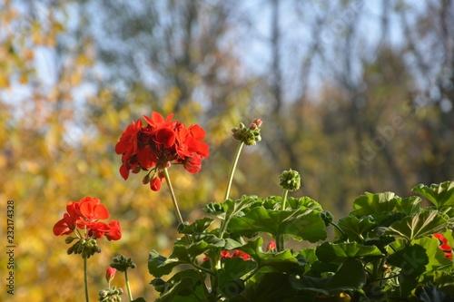 Geranien in voller Blüte im sonnigen Herbst