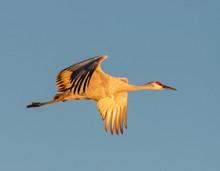 Sandhill Crane In Flight Over ...