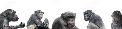 Leinwand Poster Banner of group of chimpanzees portraits isolated on white background, details,