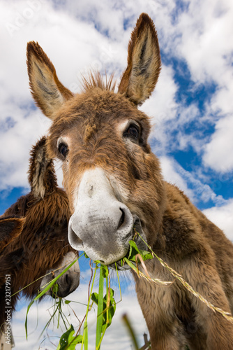 Cute fluffy donkeys eating grass