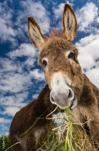 Cute fluffy donkey eating grass