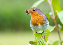 European Robin With Beakful Of Insects Against A Green Background