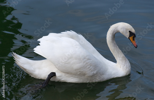 Keuken foto achterwand Zwaan White grace swan swimming in lake
