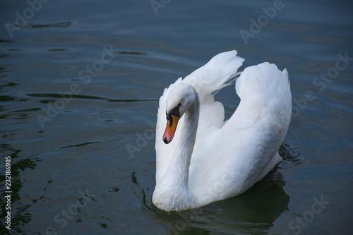 Deurstickers Zwaan White swan on dark pond
