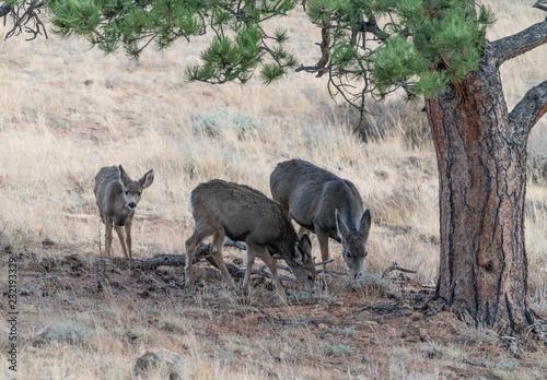 Photo  Deer trio