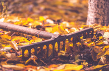 Old Rake And Yellow Leaves. Au...