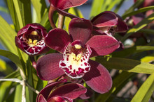 Garden Plant Flower Red Orchid...