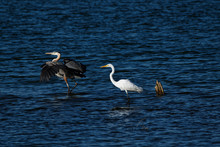 A Great Blue Heron And Great E...