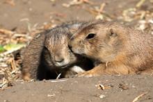 Couple Of Black Tailed Prairie...