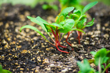 Colorful Swiss Chard Sprouts I...