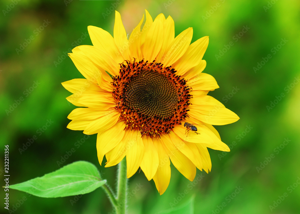 Close-up of a beautiful sunflower and bee in a field