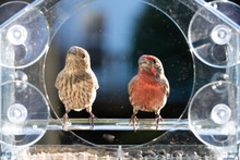 Closeup Front Of Two Male, Female Red, Gray House Finch Birds Sitting Perched On Plastic Glass Window Feeder, Sunny Day, Looking In Virginia, Sunflower Seeds