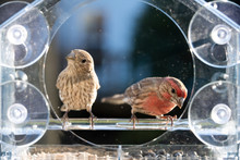 Closeup Front Of Two Male, Female Red, Gray House Finch Birds Sitting Perched On Plastic Glass Window Feeder, Sunny Day, Looking In Virginia, Eating Sunflower Seeds