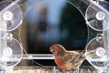 Closeup Front Of One Male Red House Finch Bird Perched Inside Of Plastic Glass Window Feeder, Sunny Day, Looking In Virginia, Eating Sunflower Seeds