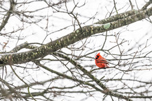 One Red Northern Cardinal Bird, Cardinalis, Perched On Tree Branch During Cold Winter Colorful In Virginia Looking Back, Tail