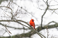 One Red Northern Cardinal Bird, Cardinalis, Perched On Tree Branch During Cold Winter Colorful In Virginia Looking Back, Front Crest
