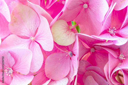 Foto op Canvas Bloemen Pink flowers of hydrangea or hortensia close-up. Natural hydrangea flowers background, shallow DOF.