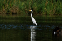 A Great Egret Reflects In The Water While Standing Tall. These Large White Herons Will Stalk Along A Shoreline Hunting For Fish And Frogs.