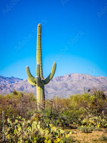 Staande foto Cactus A long slender Saguaro Cactus in Saguaro National Park, Arizona