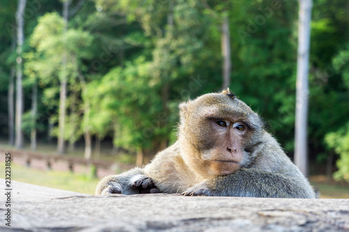 Photo  Macaque Monkey at Angkor Wat Temple in Cambodia