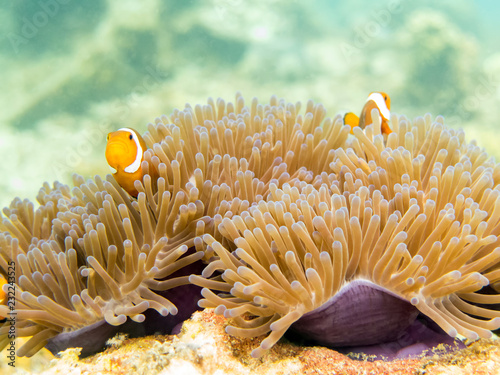 Fotografie, Obraz  Clownfish (anemonefish) - Perhentian Islands, Malaysia