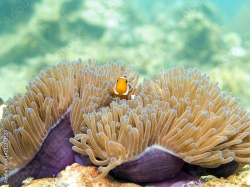 Fotografie, Tablou  Clownfish (anemonefish) - Perhentian Islands, Malaysia