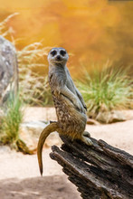The Meerkat Or Suricate Standing On The Log