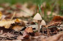 Closeup Of Two Little Mushroom...