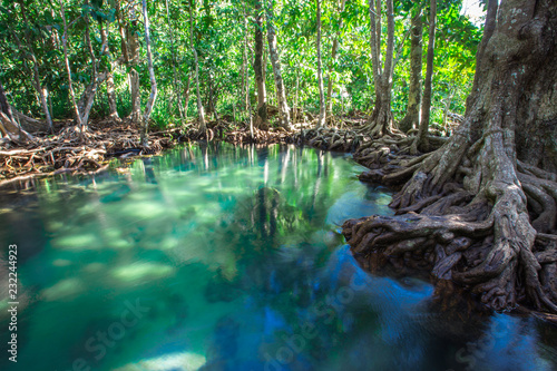 Fototapety, obrazy: Krabi -Tha Pom Klong Song Nam, is an ecological study area to learn about the integrity of nature both in terms of groundwater and vegetation.It can grow both in water and on the soil,clear greenwater