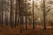 Jesień w lesie sosnowym