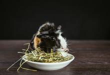 Domestic Guinea Pig (Cavia Por...