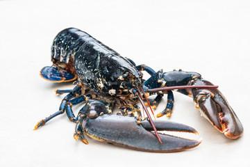 Świeży homar